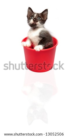 little grey spot kitten sits while staring in red plastic container - stock photo
