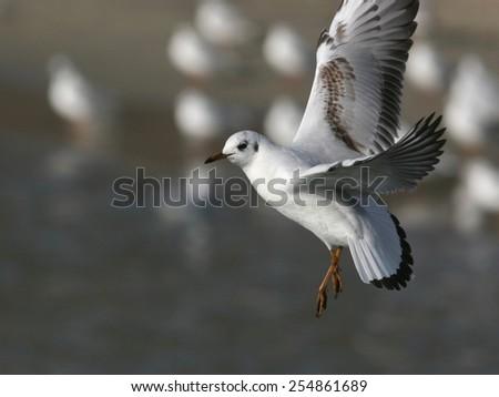 little gull in flight, against flock of gulls on the beach - stock photo