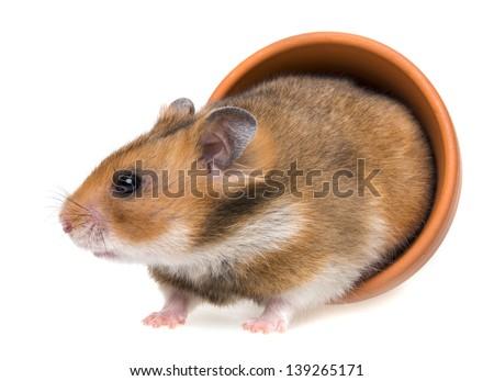 little hamster - stock photo