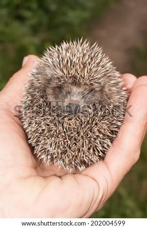Little hedgehog holding into human hand - stock photo