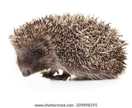 Little hedgehog isolated on white background - stock photo