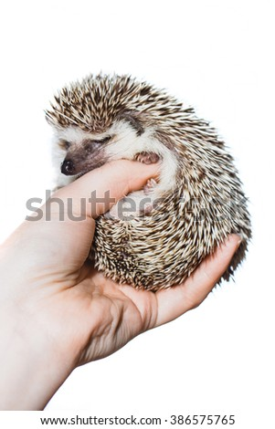 Little Hedgehog on hands - stock photo