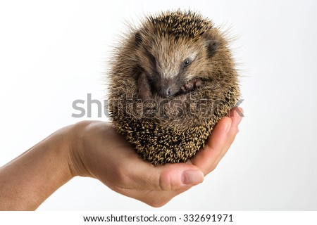 Little Hedgehog protected sitting in a hand, isolated on white - stock photo