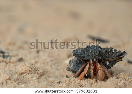little hermit crab looking directly in the camera at the beach of Thailand