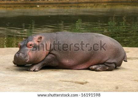 Little hippo - stock photo