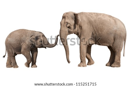 Little Indian elephant calf playing with his mother isolated on white - stock photo