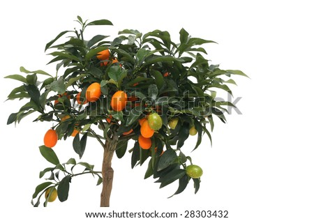 Little indoor mandarin isolated over white with plenty of fruits - stock photo