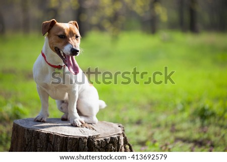 Little Jack Russell puppy in green park. Cute small domestic dog, good friend for a family and kids. Friendly and playful canine breed - stock photo