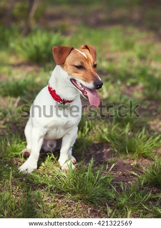 Little Jack Russell puppy in green park. Cute small domestic dog, good friend for a family and kids. Friendly and playful canine breed