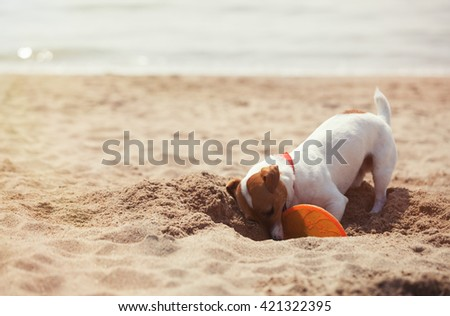 Little Jack Russell puppy playing with disc toy on the beach, digging sand. Cute small domestic dog, good friend for a family and kids. Friendly and playful canine breed - stock photo