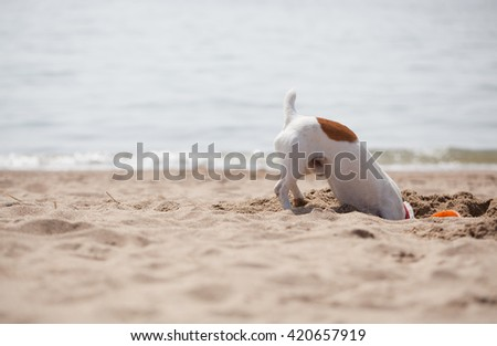 Little Jack Russell puppy playing with frisbee disc on the beach digging sand. Cute small domestic dog, good friend for a family and kids. Friendly and playful canine breed - stock photo