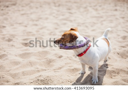 Little Jack Russell puppy playing with violet puller toy on the beach. Cute small domestic dog, good friend for a family and kids. Friendly and playful canine breed