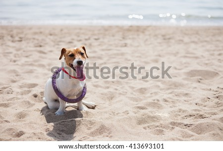 Little Jack Russell puppy playing with violet puller toy on the beach. Cute small domestic dog, good friend for a family and kids. Friendly and playful canine breed - stock photo