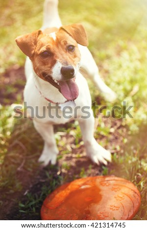 Little Jack Russell puppy plying with throwing disc toy in green park. Cute small domestic dog, good friend for a family and kids. Friendly and playful canine breed - stock photo
