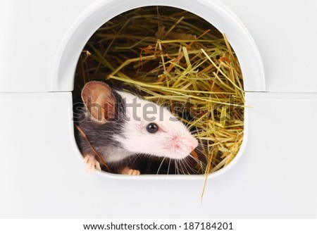 Little japanese mouse sticking his nose from his hole, close up - stock photo