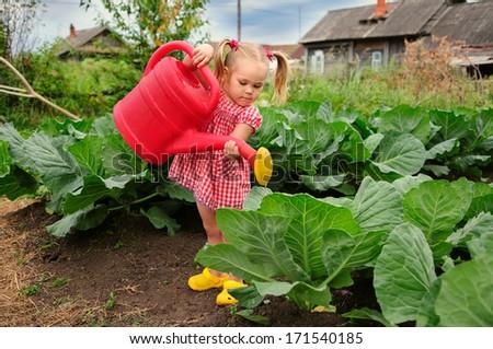 little kid watering cabbage in the kitchen garden - stock photo