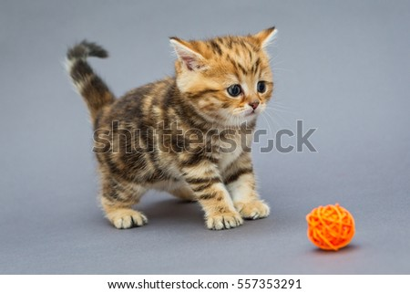 Little kitten British marble plays with balls on grey background