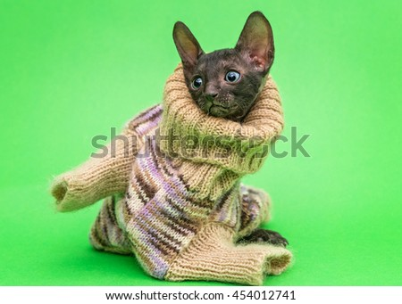 Little kitten Cornish Rex cat in a knitted sweater