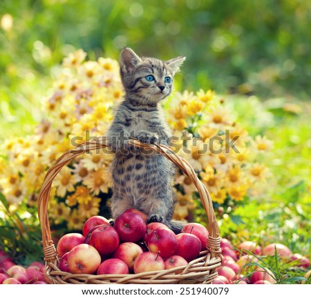 Little kitten in a basket with red apples - stock photo