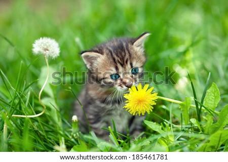Little kitten in the grass sniffing dandelion - stock photo