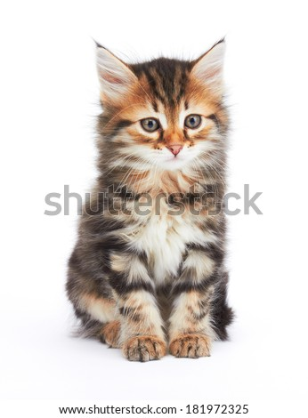 Little Kitten isolated on white background
