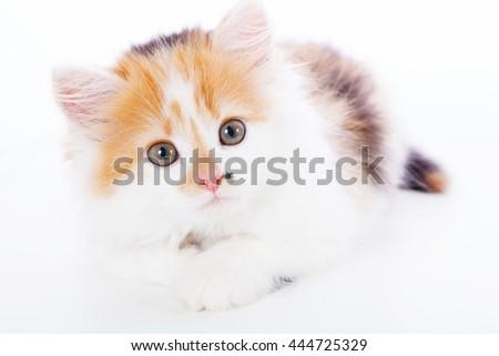 Little kitten isolated on white background. Tabby cat baby - stock photo