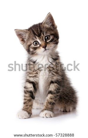 Little kitten isolated on white background. Tabby cat baby - stock photo