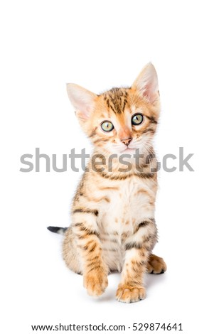 little kitten looking into the camera on a white background