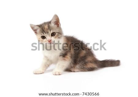 little kitten of blue-cream-white colors - stock photo