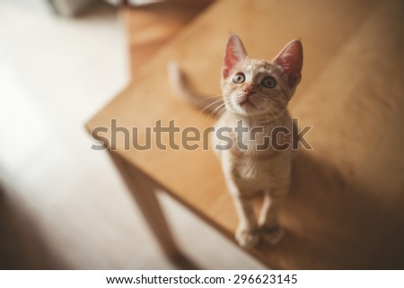 Little kitten on a table at home. Kitty is looking up. - stock photo