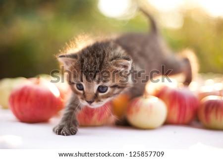 little kitten on the autumn apple background - stock photo