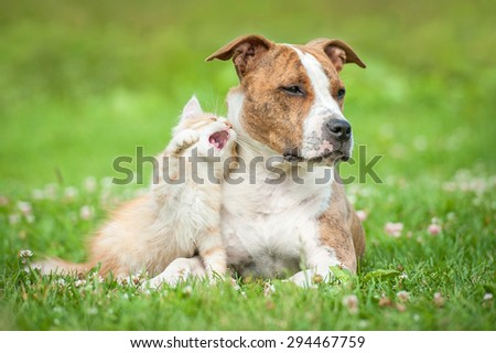 Little kitten playing with american staffordshire terrier dog - stock photo