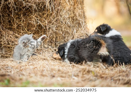 Little kitten playing with rough collie puppies - stock photo