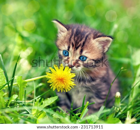 Little kitten sitting on the grass and sniffing dandelion - stock photo