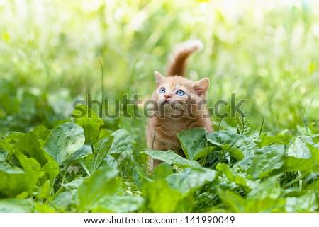 Little kitten walking on the plantain - stock photo