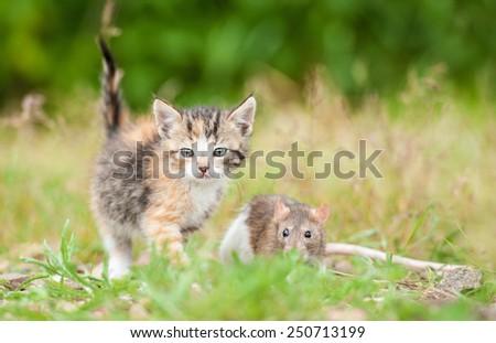 Little kitten with a rat  - stock photo