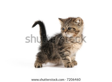 little kitten with black and brown strips - stock photo