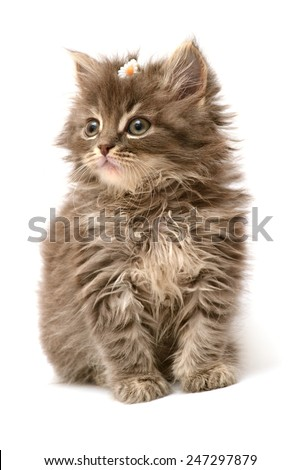 Little kitten with daisy flower isolated on white background - stock photo