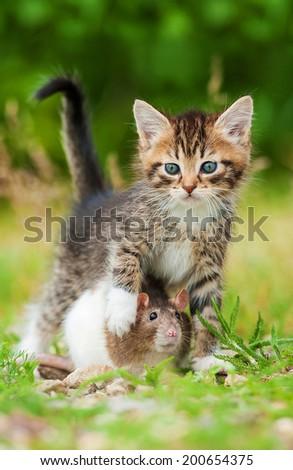 Little kitten with rat - stock photo
