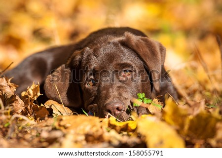 Little labrador puppy lying on the leaves in autumn