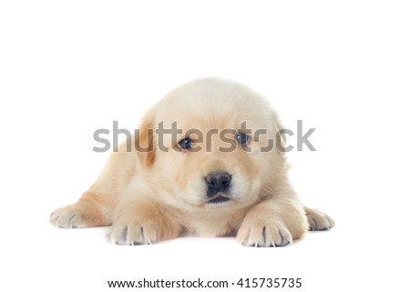 little labrador puppy on a white background