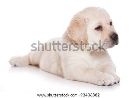 Little Labrador puppy on white background - stock photo