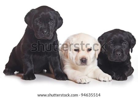 Little Labrador puppy on white background - stock photo
