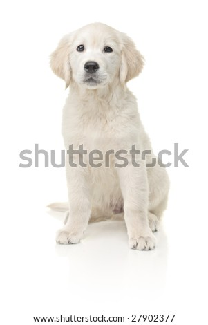Little labrador retriever isolated on white