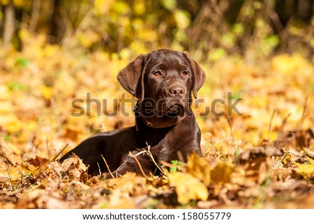 Little labrador retriever puppy lying in the park in autumn - stock photo