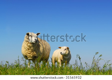 Little lamb and mother sheep on green grass with blue sky background on dutch island Texel - stock photo