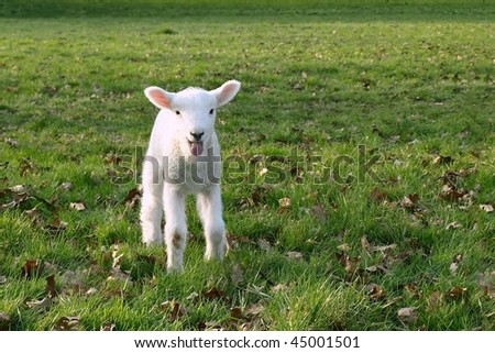 Little Lamb in a Green Meadow