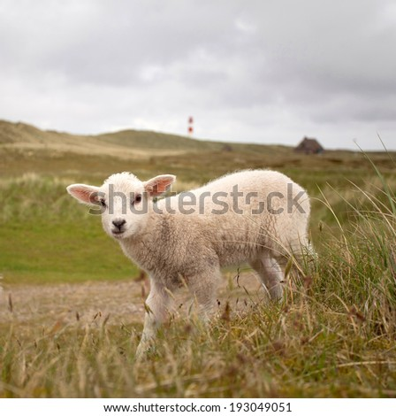 Little lamb in a nordic landscape with dunes and grass - stock photo