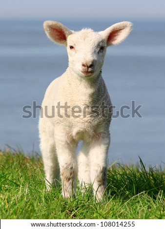 little lamb in north germany - stock photo