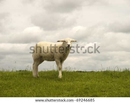 Little lamb on a Dutch dike
